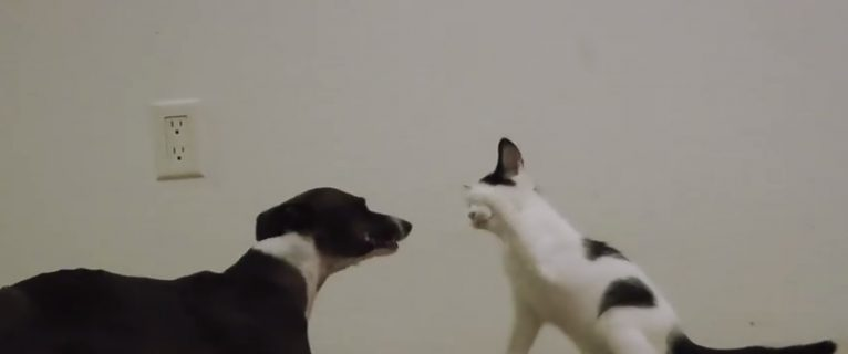 #35 – Crazy greyhound plays with kitten