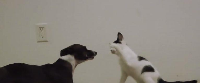 #35 – Crazy greyhound plays with kitten